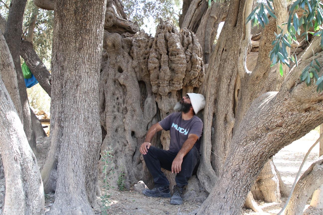 olive-tree-sitting.jpg